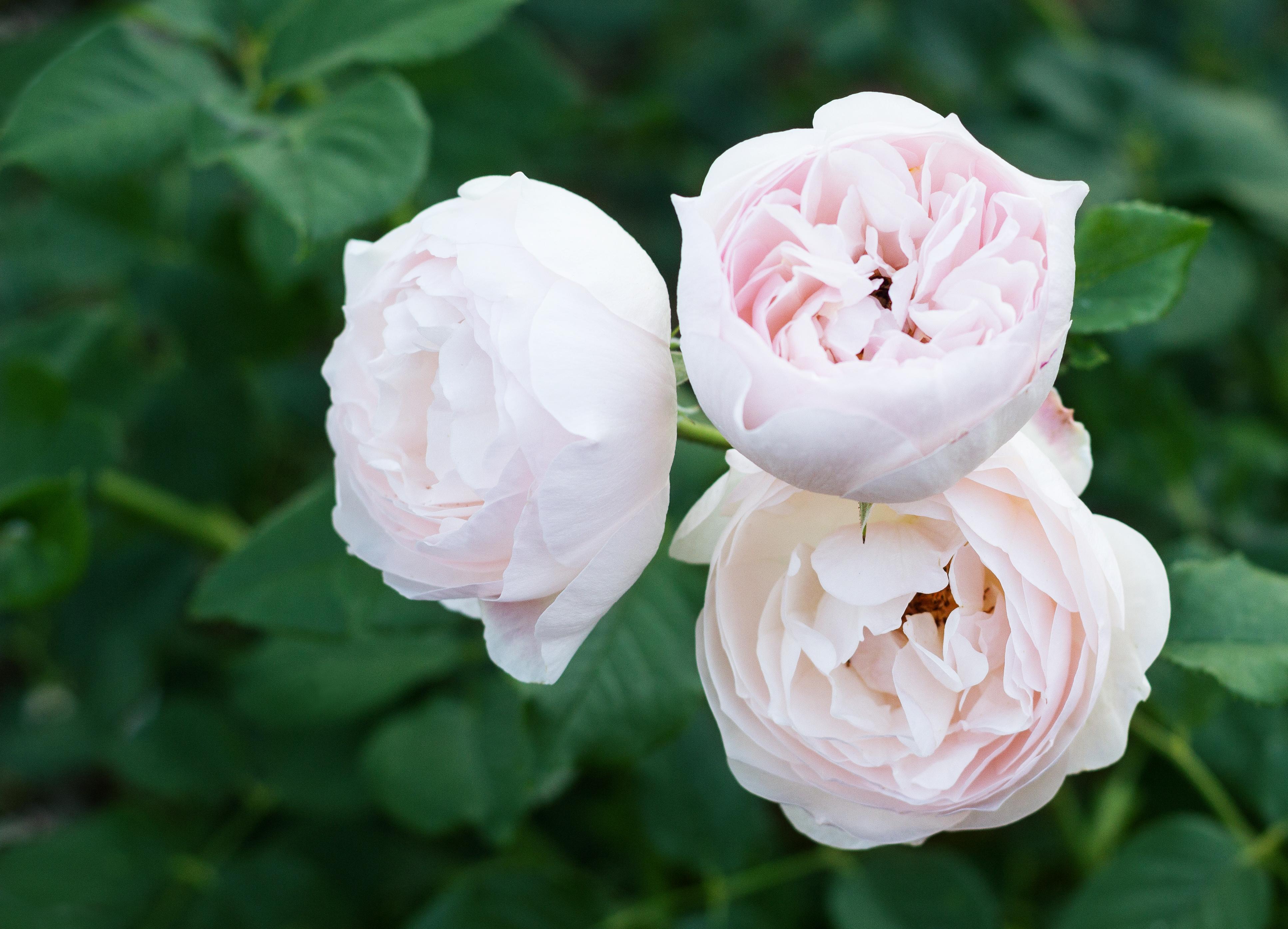 Rosen sind rot … oder weiß , oder …